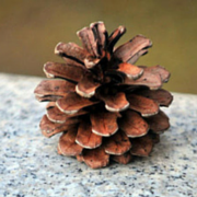 Pinecone no text 180x180
